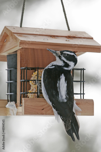 Downy Woodpecker female (Picoides pubescens)
