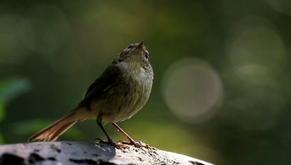 chiffchaff at waterhole