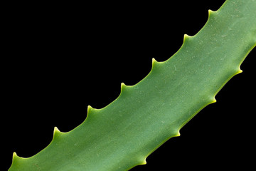 aloe on a black background. macro