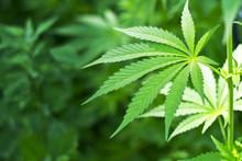 Młodych roślin konopi marihuana roślin szczegółowo