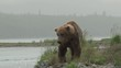Grizzly Bear walking along riverside in search for salmon