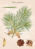 Fototapety Pine branch with cones, needles and seeds, vector