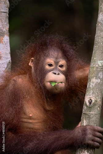 Orangutan eating leaf