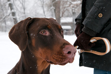 Doberman pinscher winter portrait