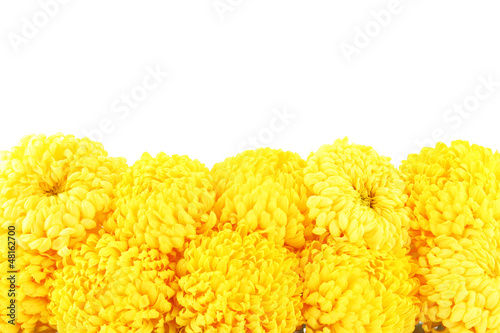 bright yellow chrysanthemums, isolated on white