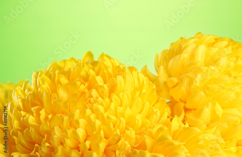 bright yellow chrysanthemums, on green background