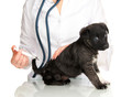 Veterinary surgeon is giving vaccine to  puppy