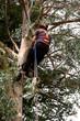 using ropes to climb a blue-gum
