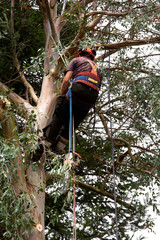 using ropes to climb a blue-gum