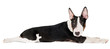 adorable english bull terrier puppy lying down
