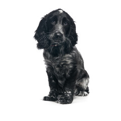 Cocker Spaniel puppy dog