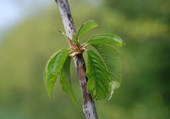 Durone Nero di Vignola III Cherry Tree in Spring