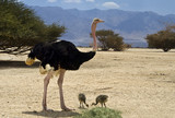 Male of African ostrich with chicks