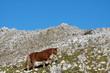 Cavallo solitario che  pascola