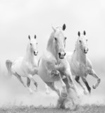 white horses in dust
