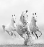 Fototapety white horses in dust