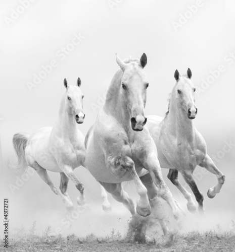 white horses in dust - 48172721