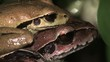Close up mating jungle frogs
