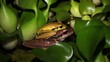 Mating jungle frogs