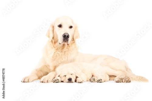 A mother labrador retreiver with her baby dog