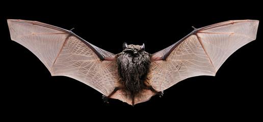 Little brown Bat.