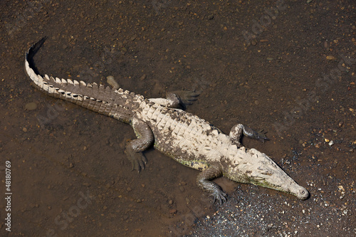 American Crocodile in Costa Rica
