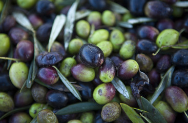 Green and purple olive fruits