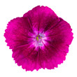 Cute purple dianthus carnation flower isolated