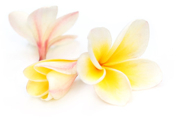 Tropical Frangipani over white background