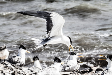 A Crested Tern on the beach of Rottnest Island,Australia