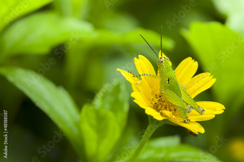 Grasshopper on yellow flower from thailand