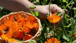 closeup hand gather marigold calendula herb bloom wooden wicker