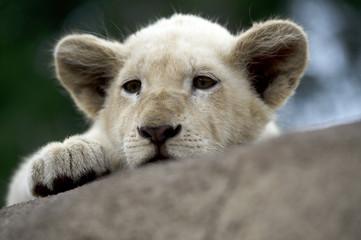 Leão Bebé / Baby Lion