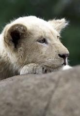 Baby Lion / Leão Bebé