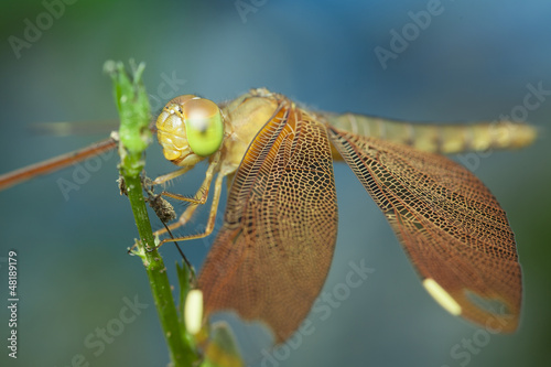 dragonfly on green flower with clear background,thailand