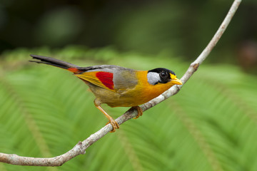 Silver-eared Mesia on branch with green background, thailand