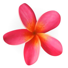 Pink Frangipani flower isolated on white, vector Eps10 image