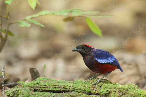 Garnet pitta on green log,malaysia