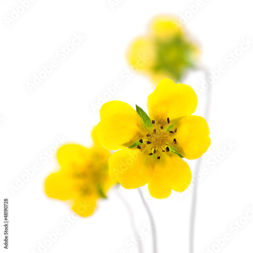 yellow flowers on a white background © ulchik74