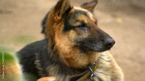 Chained German shepard