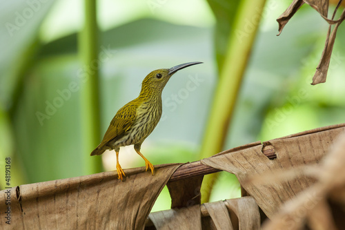 Streaked Spiderhunter on banana leaf, thailand