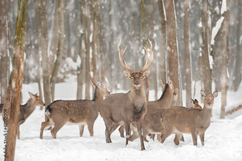Wall mural deer photo wallpaper snow for Deer wallpaper mural