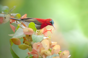 Crimson sunbird on flower