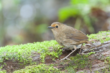White-browed shortwing from Doi inthanon, thailand