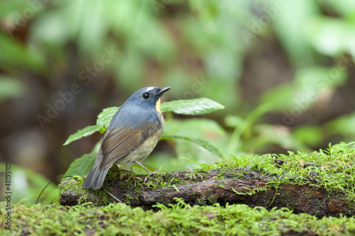 Snowy-browed Flycatcher from Doi inthanon, thailand