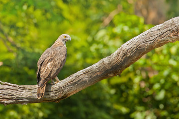 Changeable Hawk-Eagle on branch