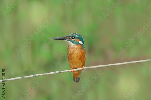 Common Kingfisher on small branch