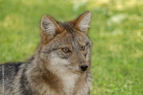Head of Jackal