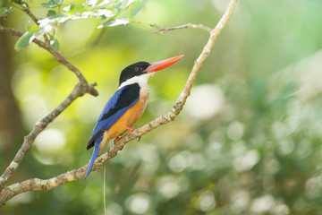 black-capped kingfisher on branch from thailand