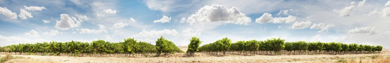 Vineyards panoramic image